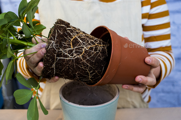 High angle close up of person re-potting plant into a blue terracotta pot. - Stock Photo - Images