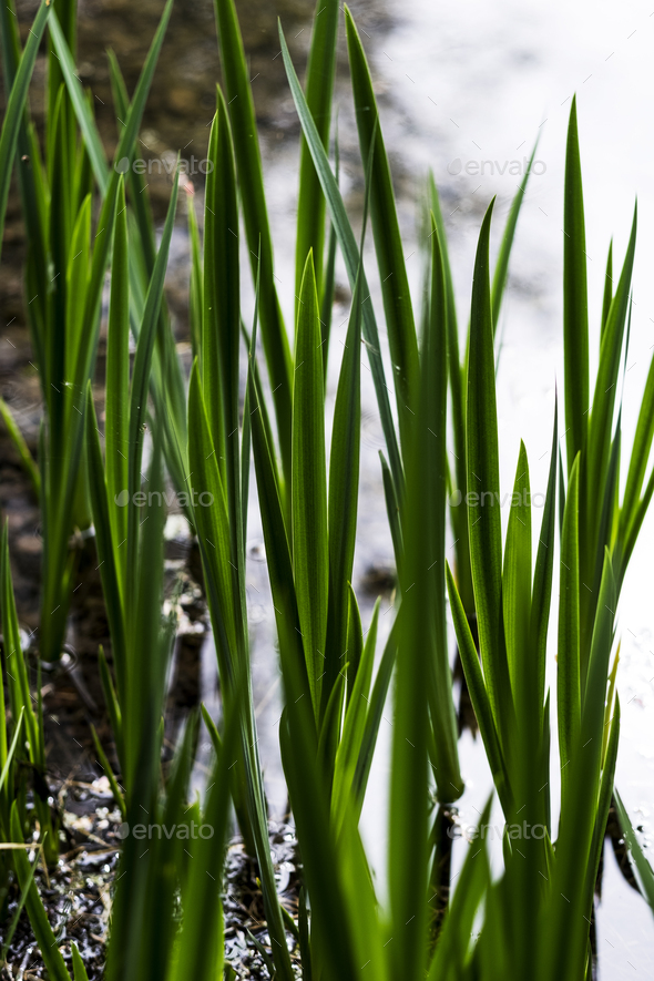 Close up of fresh green shoots in a garden, reflection of water. - Stock Photo - Images