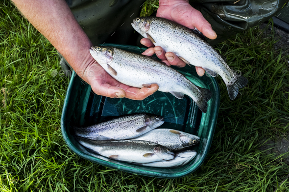 High angle close up of person holding freshly caught trout at a fish farm raising trout. - Stock Photo - Images