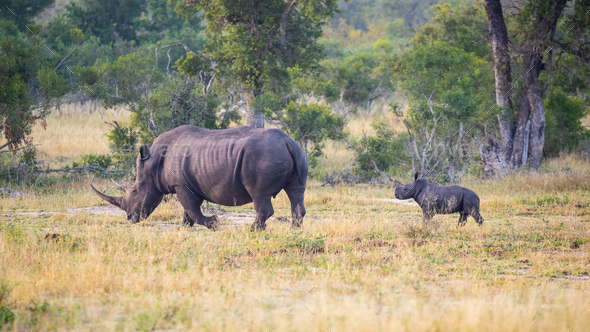A white rhinoceros mother, Ceratotherium simum, is followed by her calf. - Stock Photo - Images