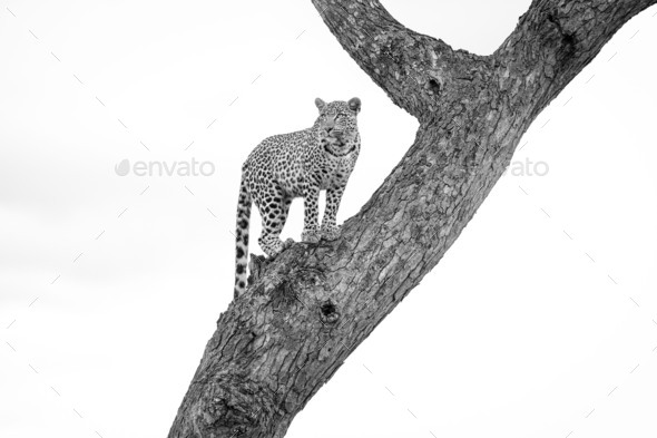 A leopard, Panthera pardus, stands in a tree, looking away, in black and white. - Stock Photo - Images