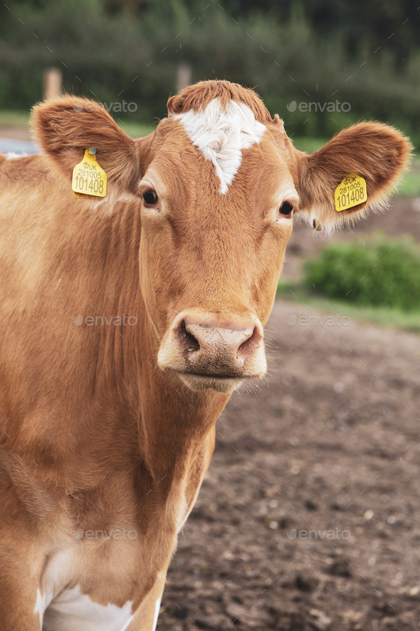 Piebald red and white Guernsey cow on a pasture looking at the camera. - Stock Photo - Images