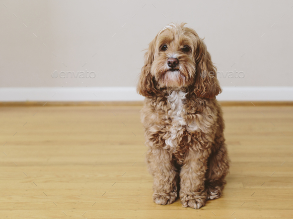 A cockapoo mixed breed dog, a cocker spaniel poodle cross, a family pet with brown curly coat - Stock Photo - Images
