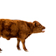 Full length side view of brown calf on white background. - PhotoDune Item for Sale