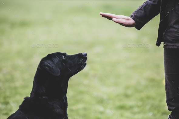 A dog trainer giving a hand command to Black Labrador dog. - Stock Photo - Images