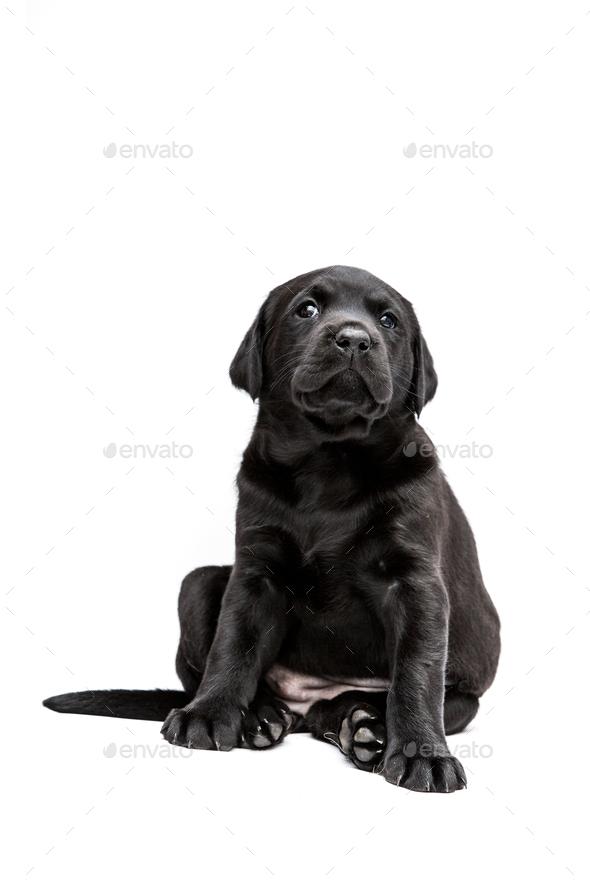 Sitting Black Labrador puppy on white background. - Stock Photo - Images
