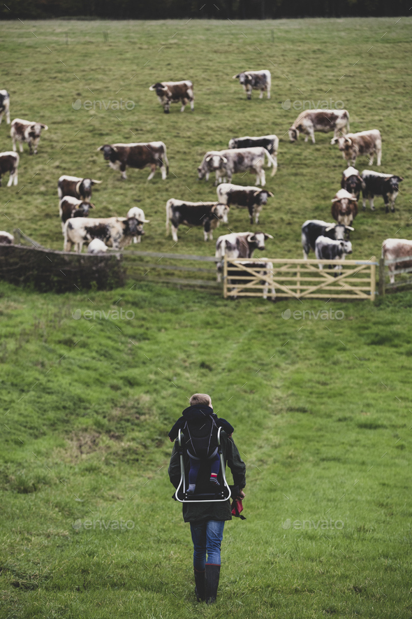 High angle view of man carrying child on his back walking towards a pasture with herd of English - Stock Photo - Images