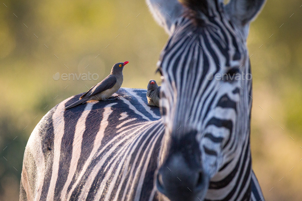 Red-billed oxpeckers, Buphagus erythrorhynchus, stand on the back of a zebra, Equus quagga - Stock Photo - Images