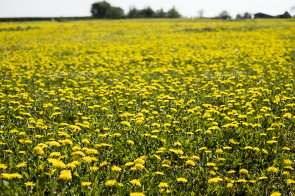 View across a field of Dandelions with bright yellow blossoms. - Stock Photo - Images