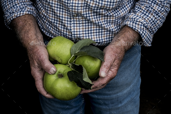 Close up of man holding three large green Bramley Apples. - Stock Photo - Images