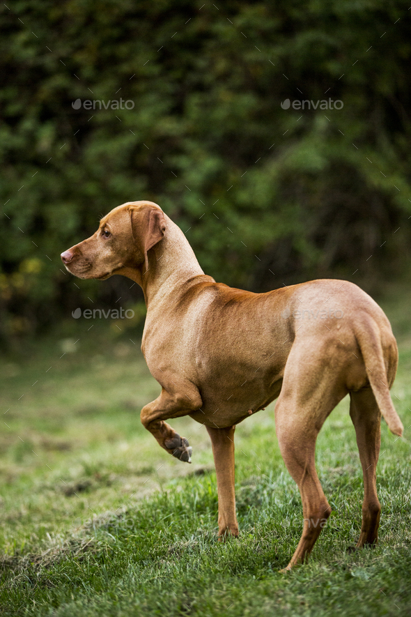 Portrait of Vizla dog standing on a meadow. - Stock Photo - Images