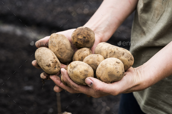 High angle close up person holding potatoes for planting in spring. - Stock Photo - Images