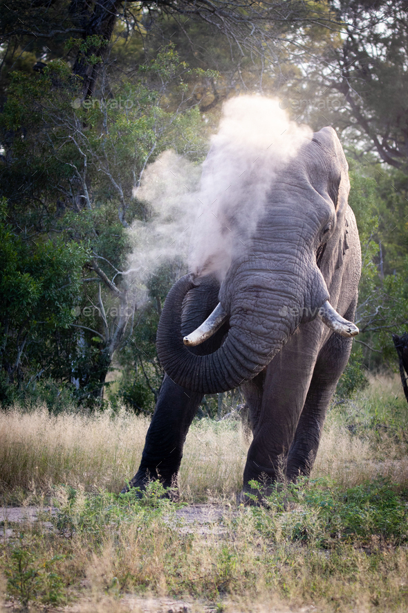 An African elephant bull, Loxodonta africana, sprays sand over itself using its trunk. - Stock Photo - Images