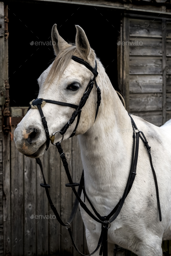 White Cob horse standing outside stable. - Stock Photo - Images