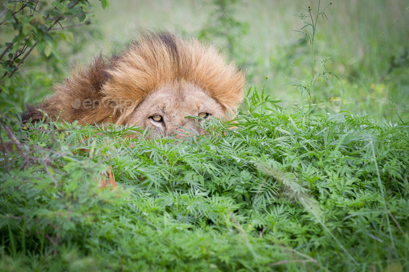 A male lion, Panthera leo, peeks up from behind a bush, yellow eyes and mane visible - Stock Photo - Images