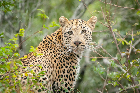 A leopard, Panthera pardus, looks over its shoulder, surrounded by greenery, looking out of frame - Stock Photo - Images