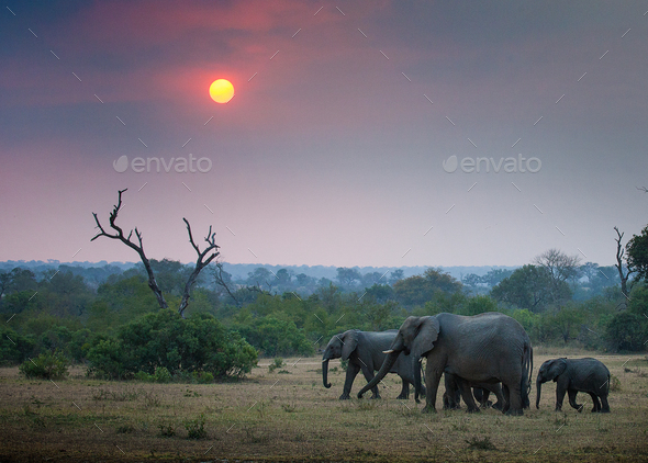 A herd of elephant, Loxodonta africana, walk through an open clearing, trees and bushes in - Stock Photo - Images