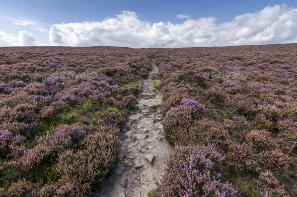 A footpath across the high moors of the Peak District National Park. Purple flowering heather. - Stock Photo - Images