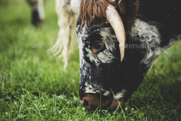 Close up of English Longhorn cow grazing on a pasture. - Stock Photo - Images