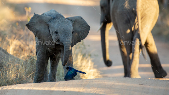 An elephant calf, Loxodonta africana, walks with its ears out and its mother in the background - Stock Photo - Images