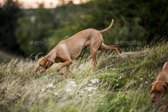 Vizla dog walking on a meadow, sniffing ground. - Stock Photo - Images