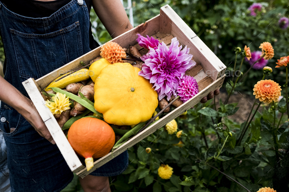 High angle close up of person holding wooden box with fresh vegetables and cut pink Dahlias. - Stock Photo - Images