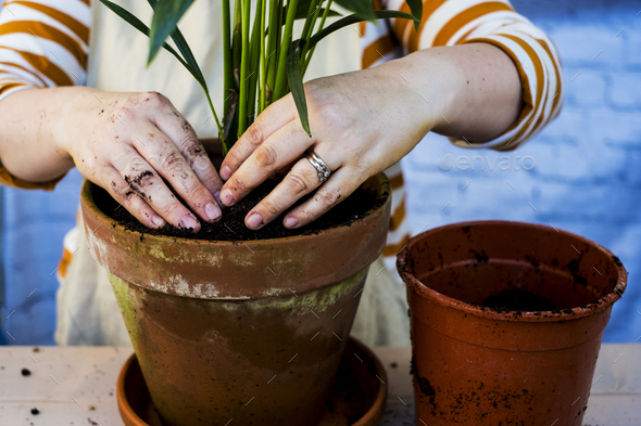 High angle close up of person re-potting plant into a terracotta pot. - Stock Photo - Images
