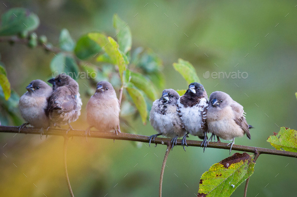 Bronze mannakins, Lonchura cucullata, perch together on a thin branch, direct gaze facing camera, - Stock Photo - Images