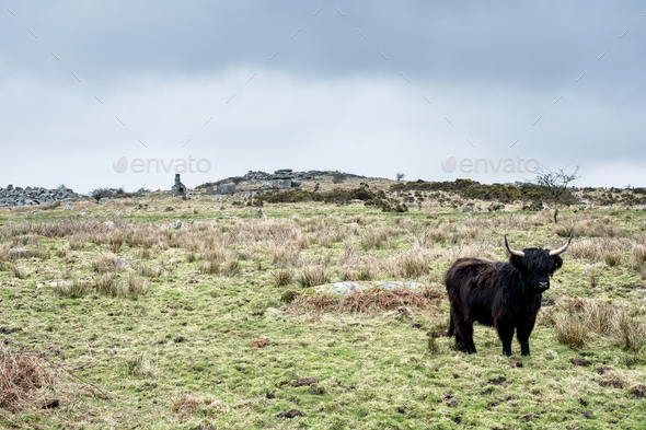 Black Highland cattle standing on pasture. - Stock Photo - Images
