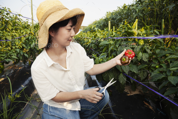 Japanese woman wearing hat standing in vegetable field, picking fresh peppers. - Stock Photo - Images