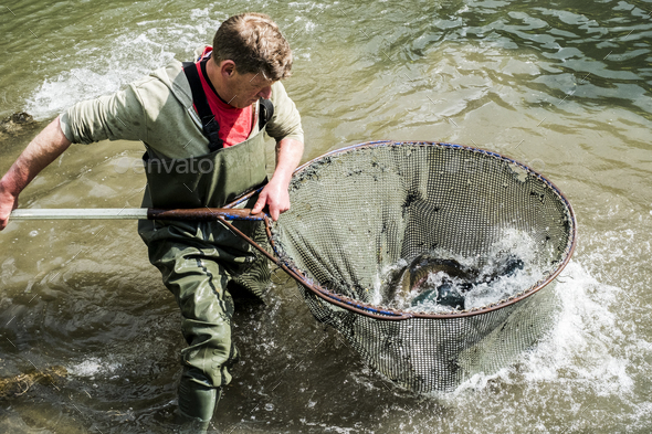 High angle view of man wearing waders standing in a river, holding large fish net with trout. - Stock Photo - Images