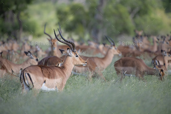 A herd of impala, Aepyceros melampus, stand and graze in long green grass - Stock Photo - Images