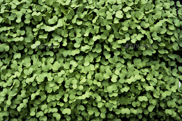 High angle close up of fresh green garden cress. - Stock Photo - Images