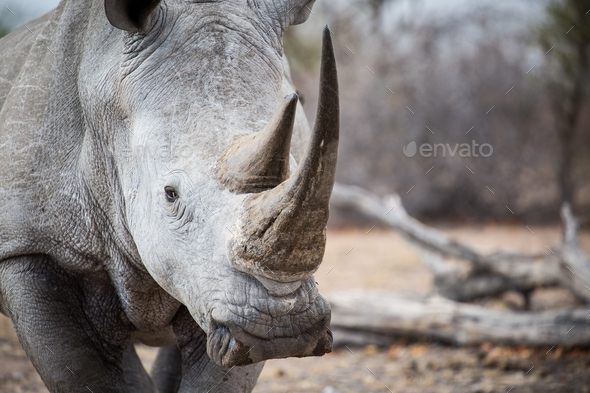 A white rhino bull, Ceratotherium simum, stands in a clearing, direct gaze - Stock Photo - Images
