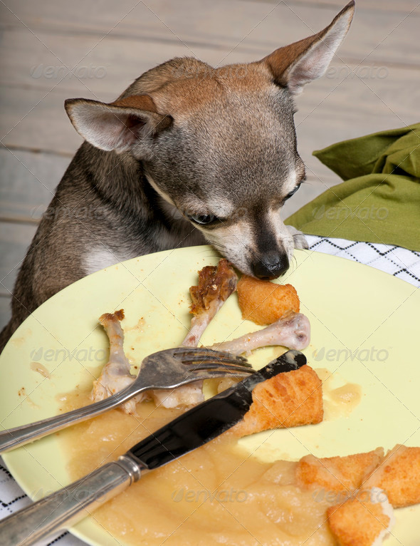 Chihuahua looking at leftover food on plate at dinner table - Stock Photo - Images