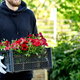 Gardener is carrying flowers in crate at shop. - PhotoDune Item for Sale