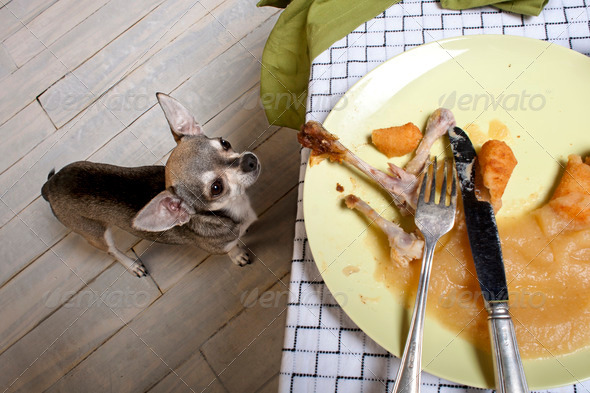 Chihuahua looking up at leftover meal on dinner table - Stock Photo - Images