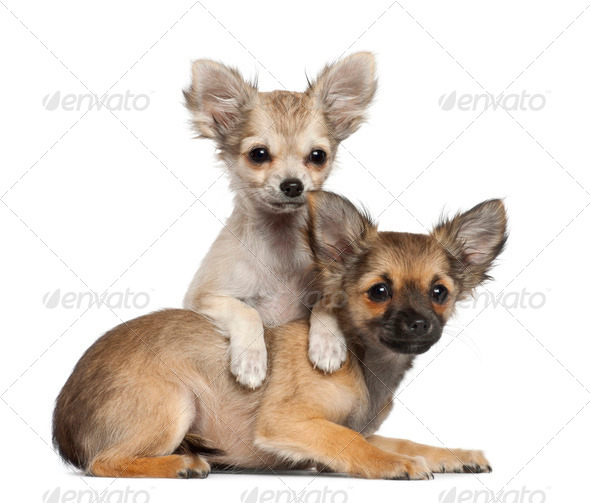Chihuahua puppy, 3 months old, lying against white background - Stock Photo - Images