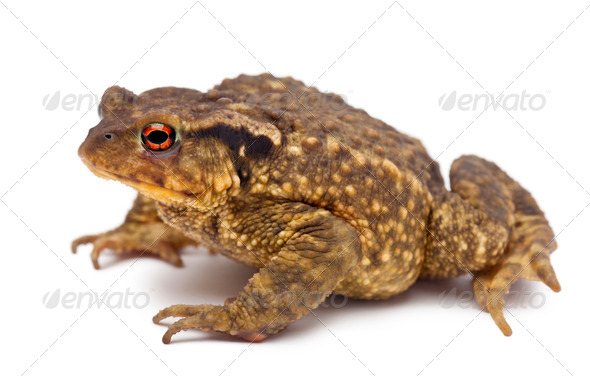 Common toad, Bufo bufo, against white background - Stock Photo - Images