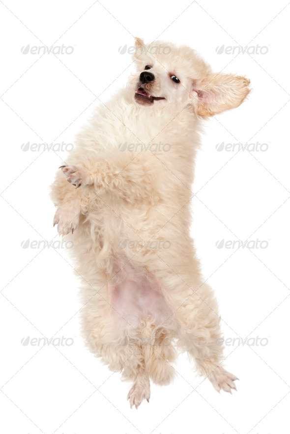 Flying Poodle puppy against white background - Stock Photo - Images
