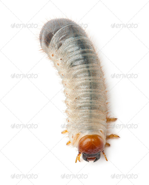 Larva of mealworm, Tenebrio molitor, against white background - Stock Photo - Images