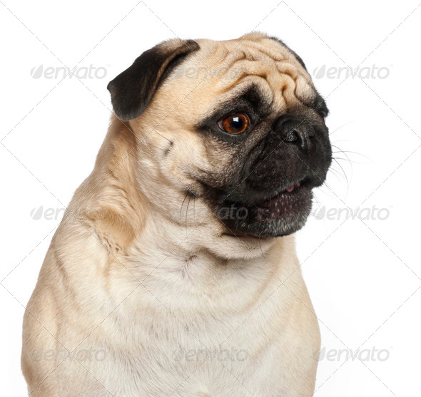 Pug, 3 years old, against white background - Stock Photo - Images