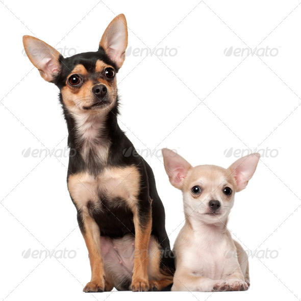 Chihuahua puppy, 3 months old and a 1 year old, sitting against white background - Stock Photo - Images
