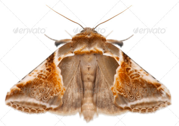 Buff Arches, Habrosyne pyritoides, a moth against white background - Stock Photo - Images