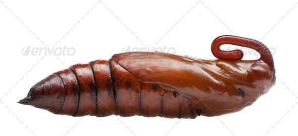 Pupa of Convolvulus Hawk-moth or Sweetpotato Hornworm, Agrius convolvuli against white background - Stock Photo - Images