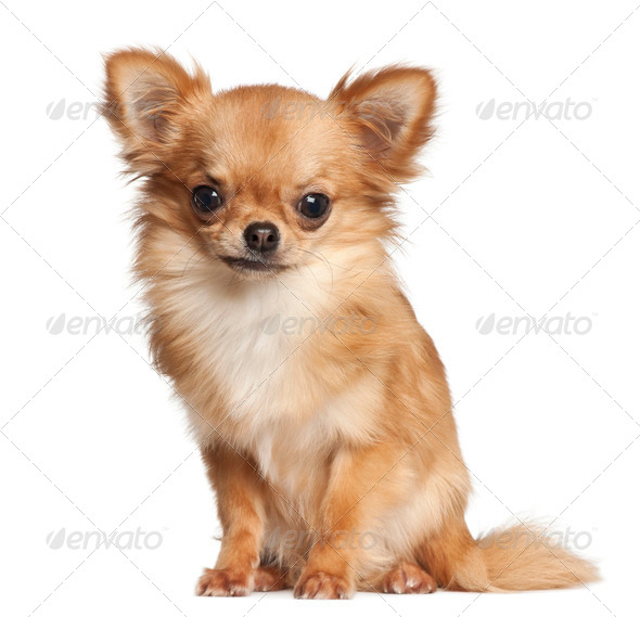 Chihuahua, 7 months old, sitting against white background - Stock Photo - Images