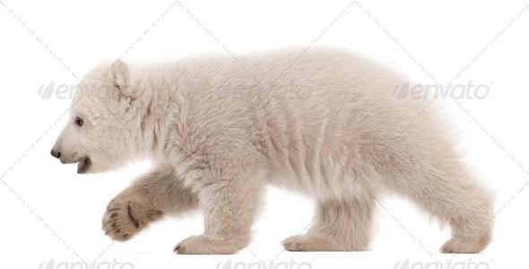 Polar bear cub, Ursus maritimus, 3 months old, walking against white background - Stock Photo - Images