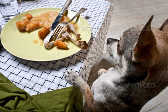 Chihuahua standing on hind legs to look at leftover meal on dinner table - Stock Photo - Images