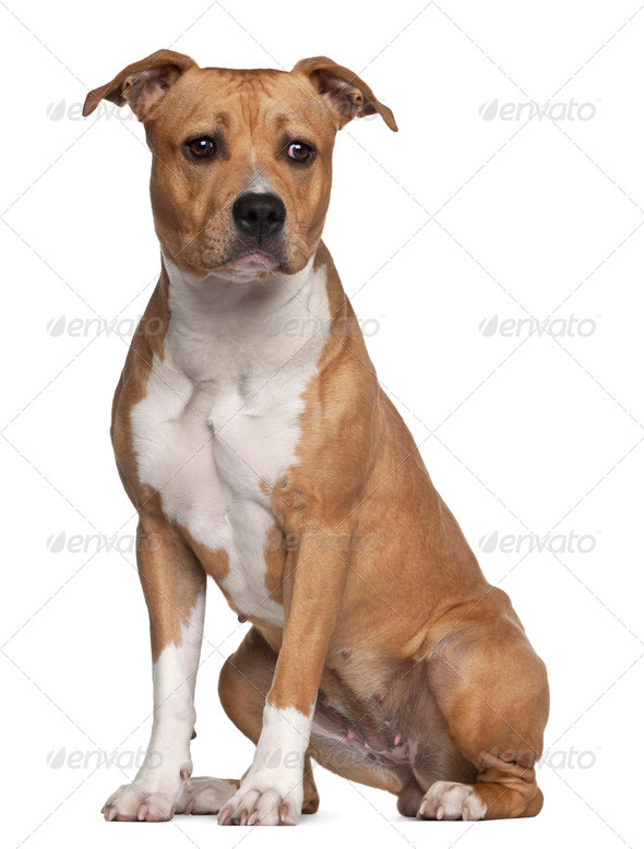 American Staffordshire Terrier, 8 months old, sitting against white background - Stock Photo - Images
