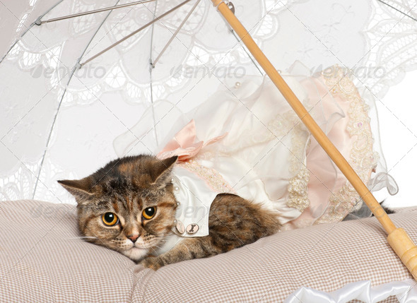 Persian cat, 1 year old, lying under parasol - Stock Photo - Images